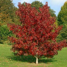 Arbore de Guma