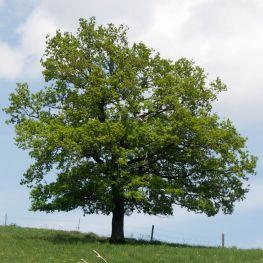 Stejar