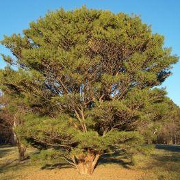 Pin densiflora Umbraculifera