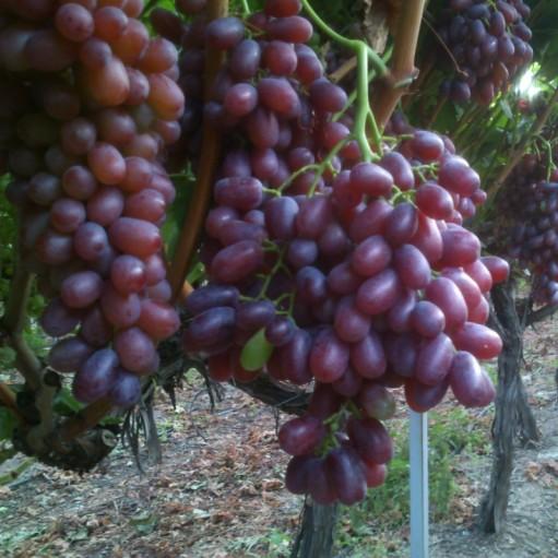 Fara samburi Crimson Seedless