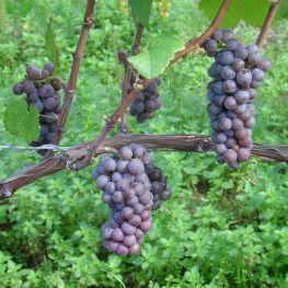 Alba de vin Pinot Gris