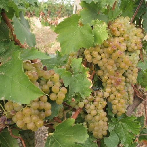 Alba de vin Tamaroasa Romaneasca