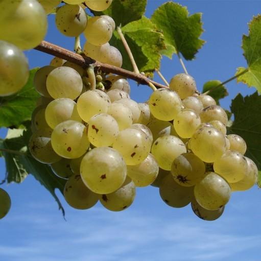 Alba de vin Riesling Italian