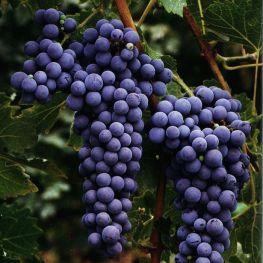 Rosie de vin Cabernet Sovignon