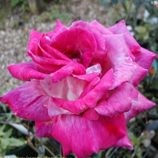 Trandafir teahibrid Gaujard