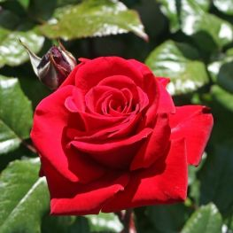 Trandafir teahibrid Ingrid Bergman
