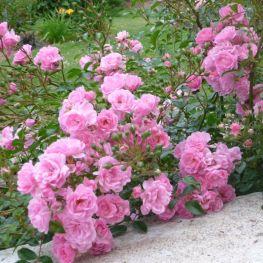 Trandafiri acoperitori de sol The Fairy