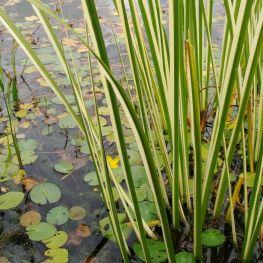 Obligeana Acorus calamus variegatus