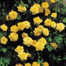 Trandafir urcator Golden Showers