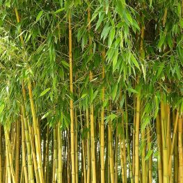 Bambus Phyllostachys aureosulcata
