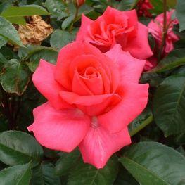 Trandafir floribunda Criterion