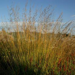 Iarba Molinia arundinacea Windspiel