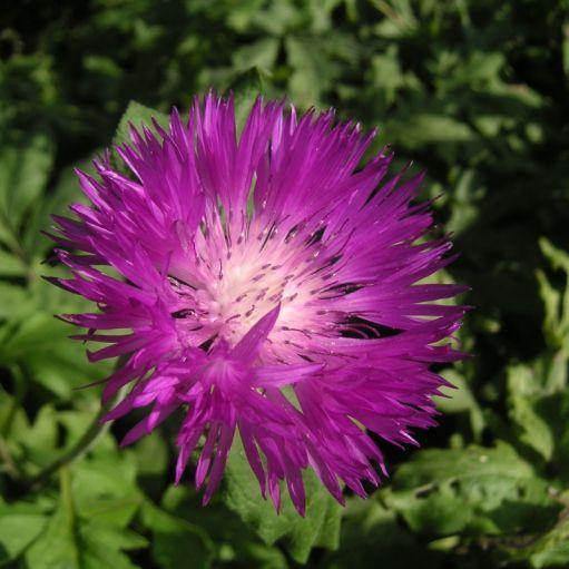 Floarea Graului Centaurea dealbata