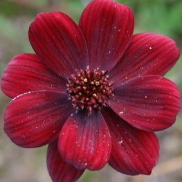 Floare de Ciocolata