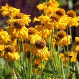 Helenium bigelovii The Bishop