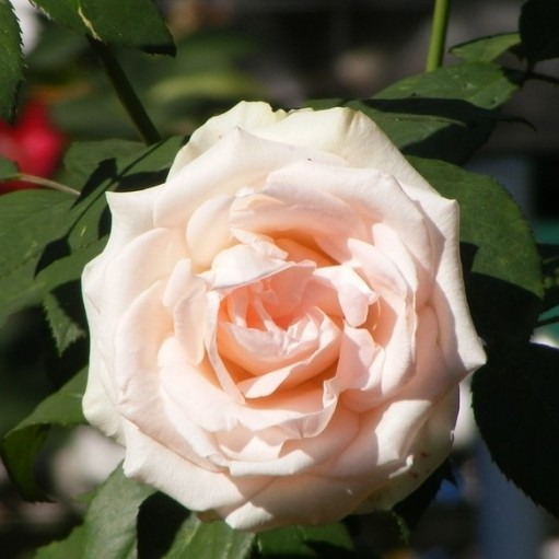 Trandafir teahibrid Vivaldi