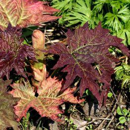Revent Rheum palmatum tanguticum