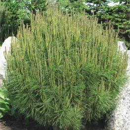 Pin densiflora Jane Kluis