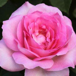 Trandafir teahibrid Passion