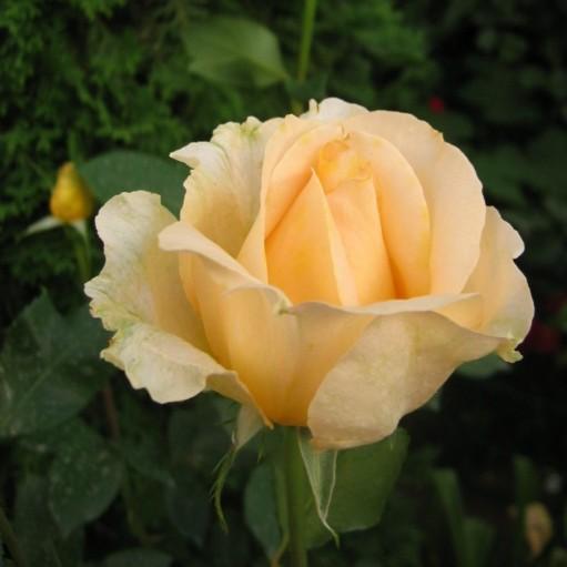Trandafir teahibrid Casanova