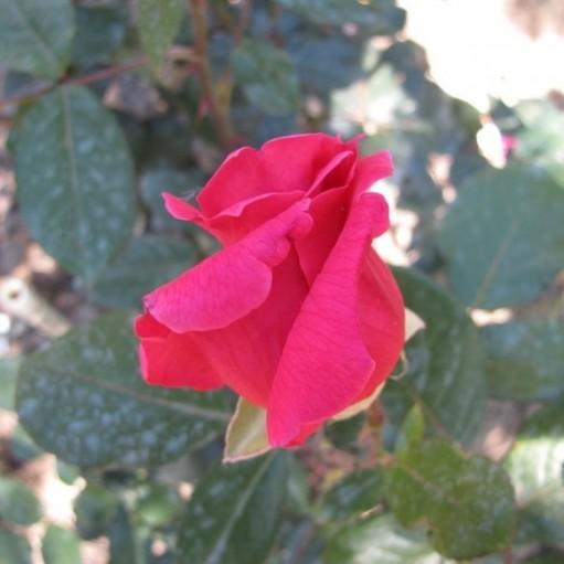 Trandafir teahibrid Aida