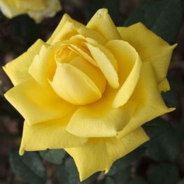Trandafir teahibrid Golden Parfume
