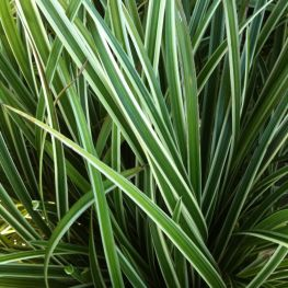 Iarba bicolora Carex morrowii 'Ice Dance'