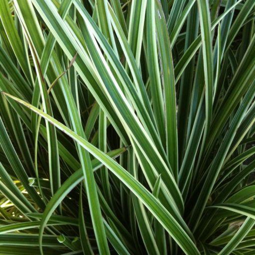 Iarba bicolora Carex morrowii 'Ice Dance'