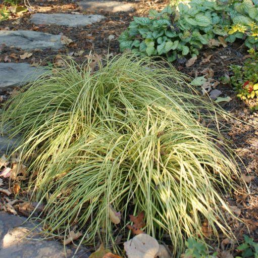 Iarba ornamentala Carex oshimensis 'Evergold'