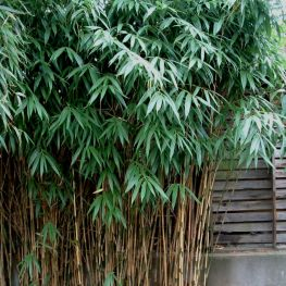 Bambus Sageata