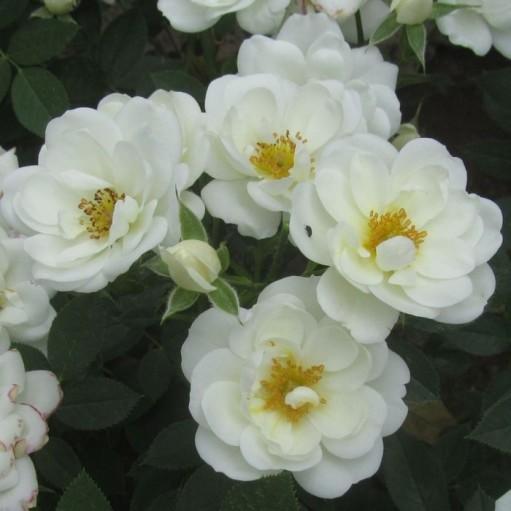 Trandafir de Parc Kent