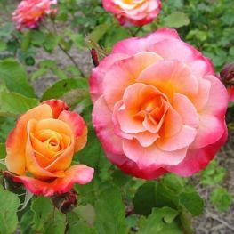Trandafir de Parc Granada