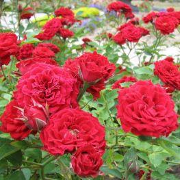Trandafiri acoperitori de sol
