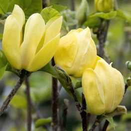 Magnolia Jellow Bird