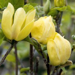 Magnolia Jellow Bird
