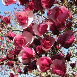 Magnolia Soulangeana Alexandrina