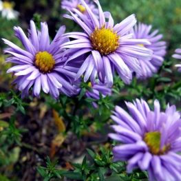 Aster pitic