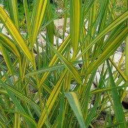 Trestie Phragmites australis variegatus