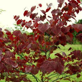 Arbore de Iudeea Forest Pansy