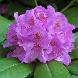 Azalee (Rhododendron) catawbiense Grandiflorum