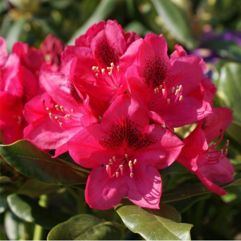 azalee rhododendron nova zembla. Black Bedroom Furniture Sets. Home Design Ideas