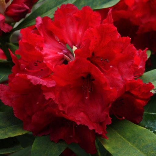 Azalee (Rhododendron) Red Jack