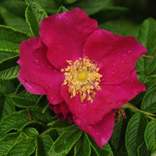 Trandafir Rosa Rugosa