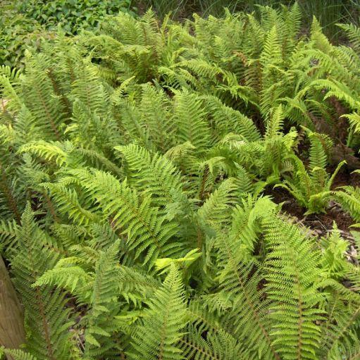 Feriga Polystichum setiferum