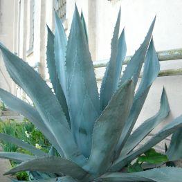 Agave, Aloe Americana