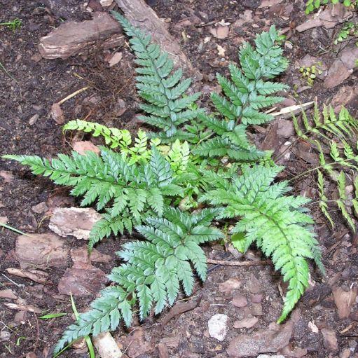Feriga Polystichum tsus-sinense