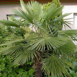 Palmier Morisca