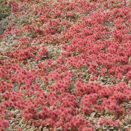 Covor de cupru Acaena microphylla Kupferteppich