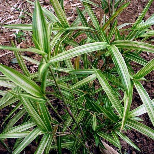 Bambus shibuyanus Tsuboi