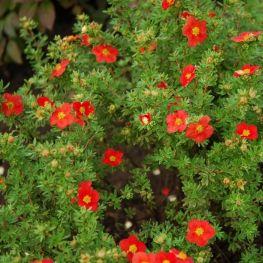 Potentilla fruticosa Marian Red Robin